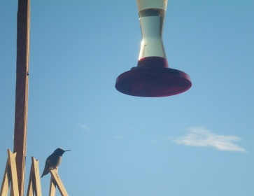 Hummingbird on my balcony