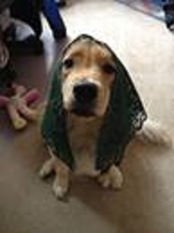 Dog wearing a prayer veil