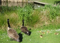 Papa and Mama geese with baby geese