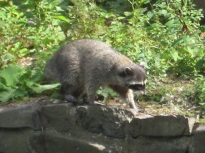Papa Raccoon across the lagoon