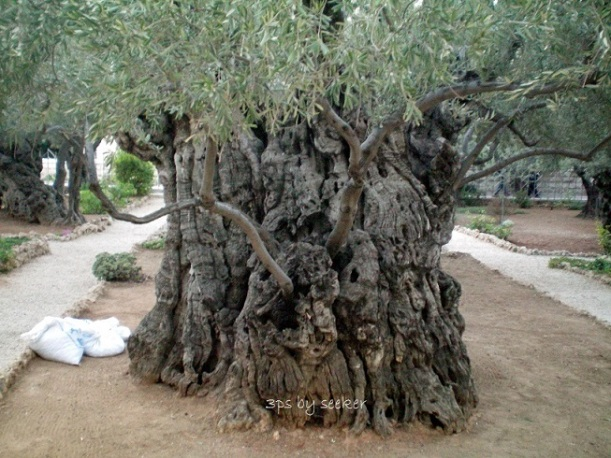 P187a Olive Tree