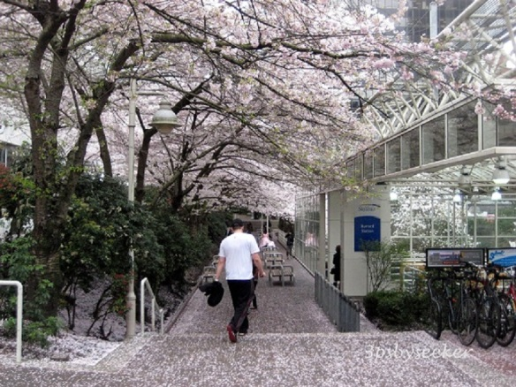 Sakura at Burrard Station