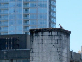 woodpecker on the roof