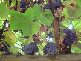 Grape Hanging Garden