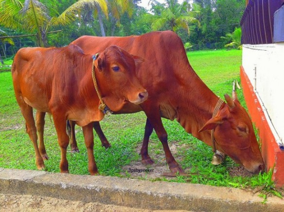 cows of india (4)