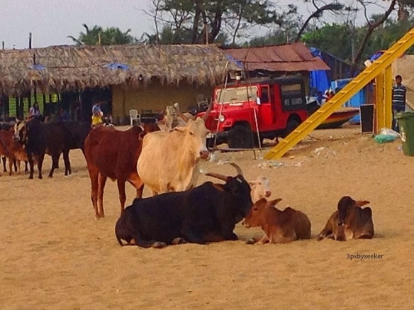 cows of india (7)