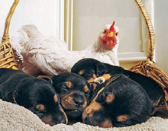 true-love-puppies-rooster_63794_600x450