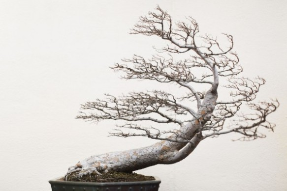 A Chinese Elm pending (training date unknown) at the National Bonsai and Penjing Museum in Washington, DC.