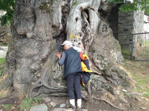 """As we walked """"The Way"""" of Santiago de Compostela, we found this tree that is over 800 years old."""