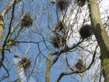 Trees full of heron building their nest