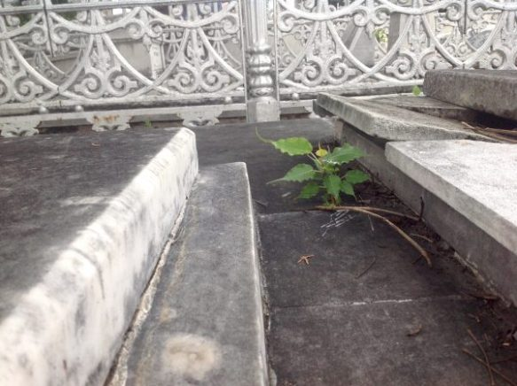 One plant in Cuba Cemetery