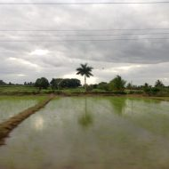 Cuban Rice Field